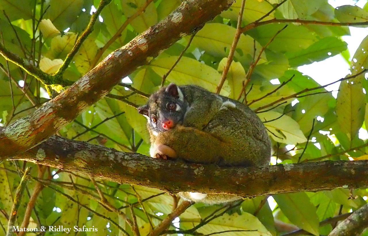 green ringtail possum 1 reduced