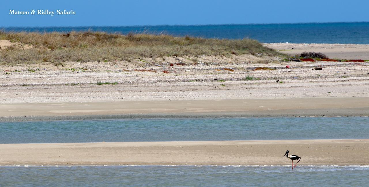 jabiru at Janie Creek mouth with watermark reduced
