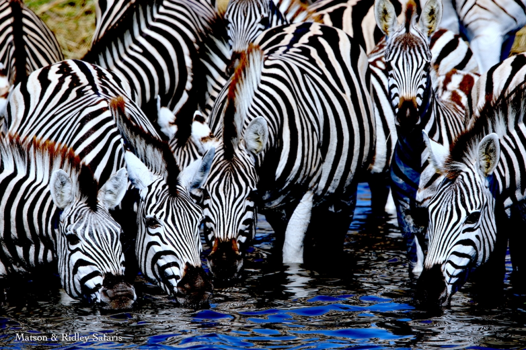 zebra migration for blog