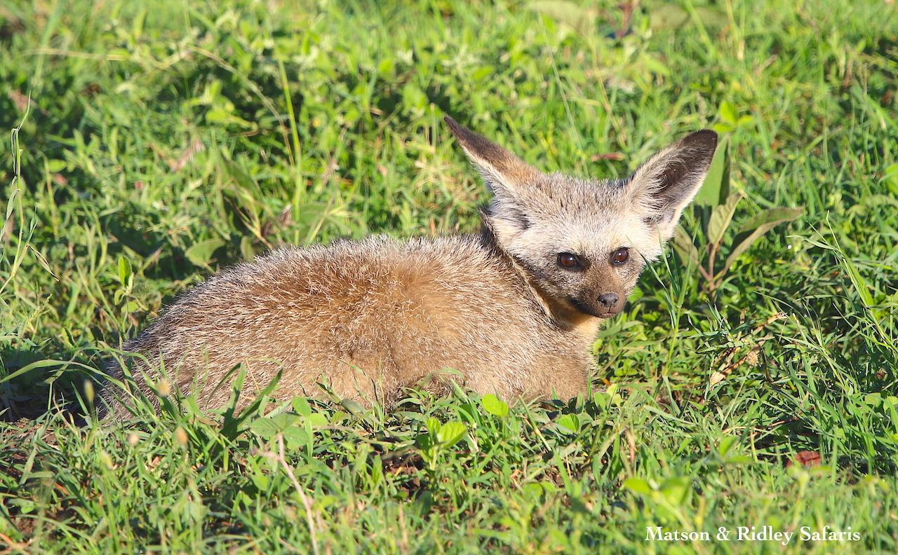 bat eared fox mother reduced