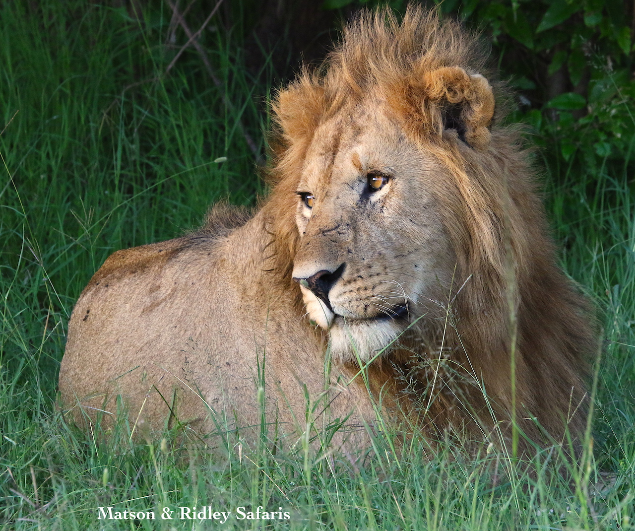 lion between mating reduced for website