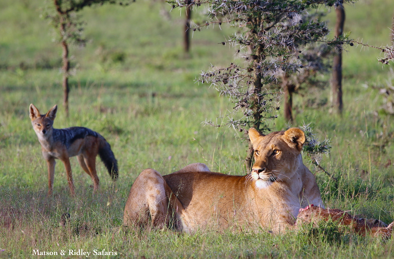 lioness and jackal on kill reduced