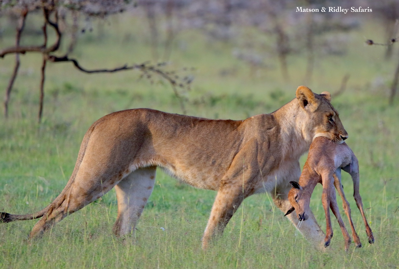 lioness with topi calf kill reduced