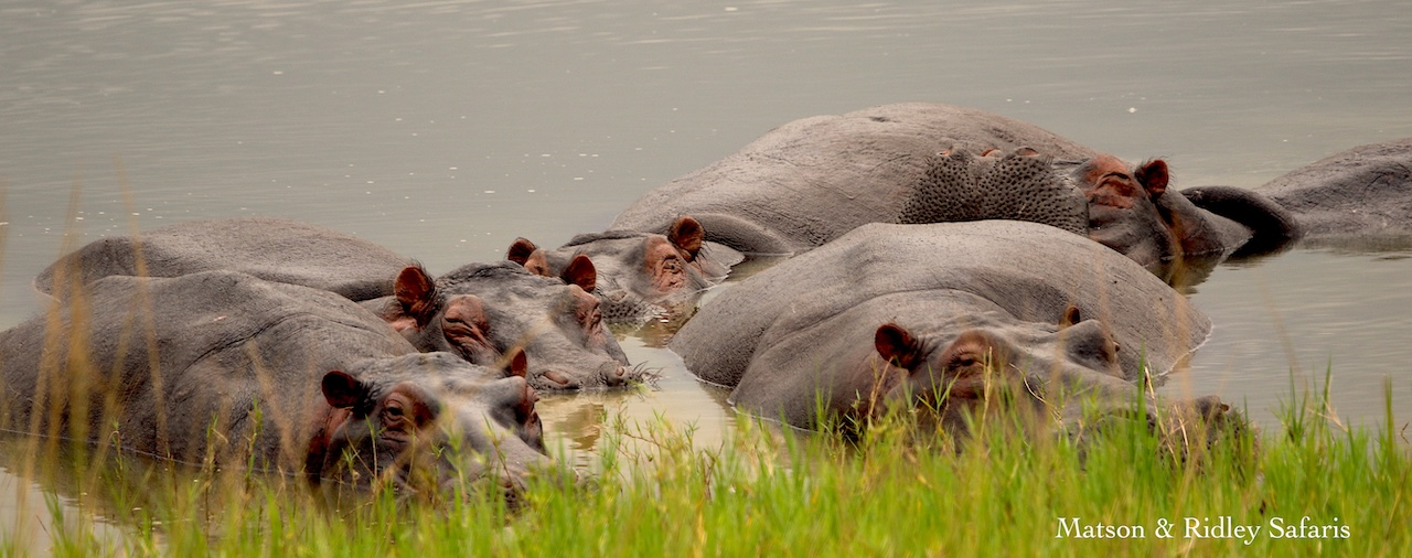 Hippos Akagera REDUCED
