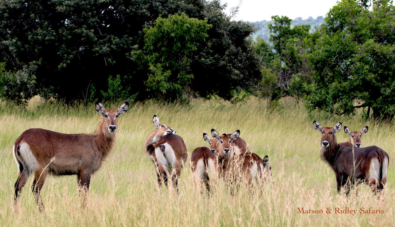 Waterbuck reduced