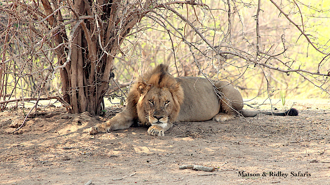 Lion Mana Pools reduced