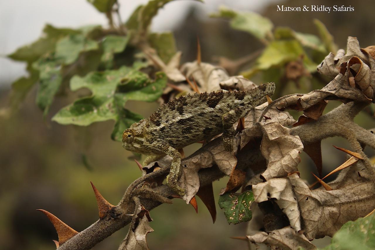 Ruwenzori chameleon reduced