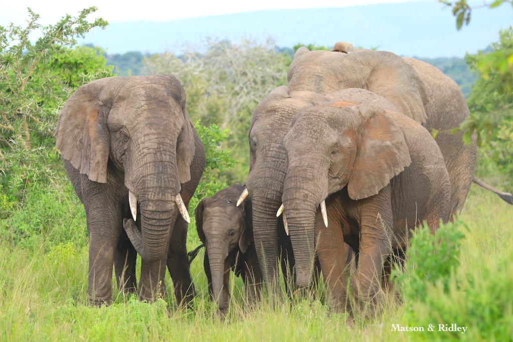 Akagera elephant herd clan b reduced