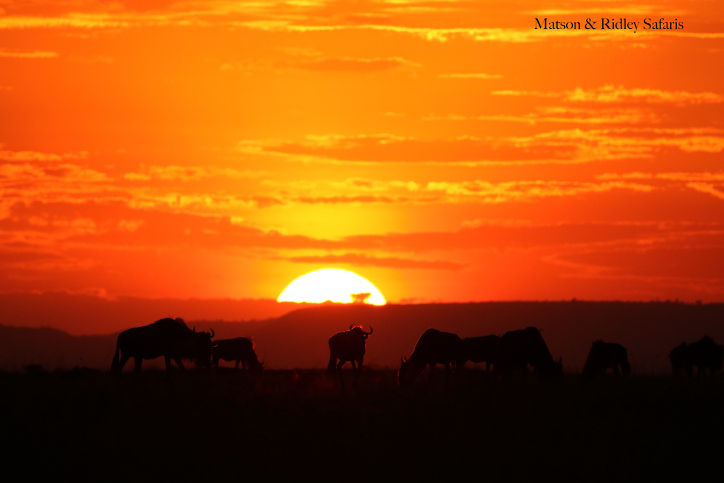 final sunset wildebeest Serengeti 1 reduced for blog