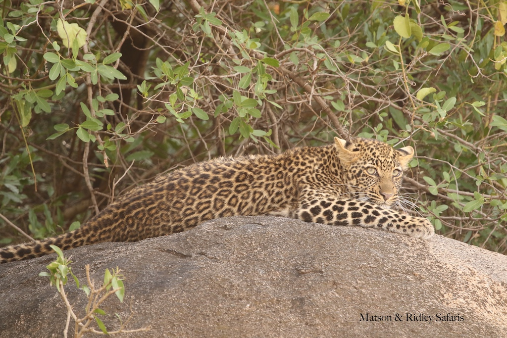 leopard juvenile reduced for blog