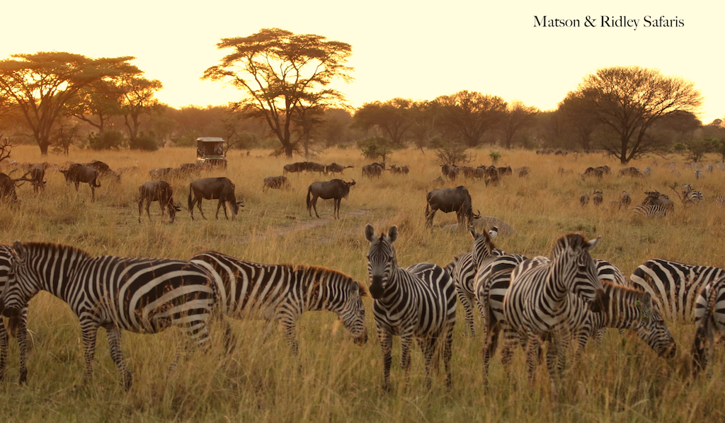 zebras and wildebeest reduced for blog