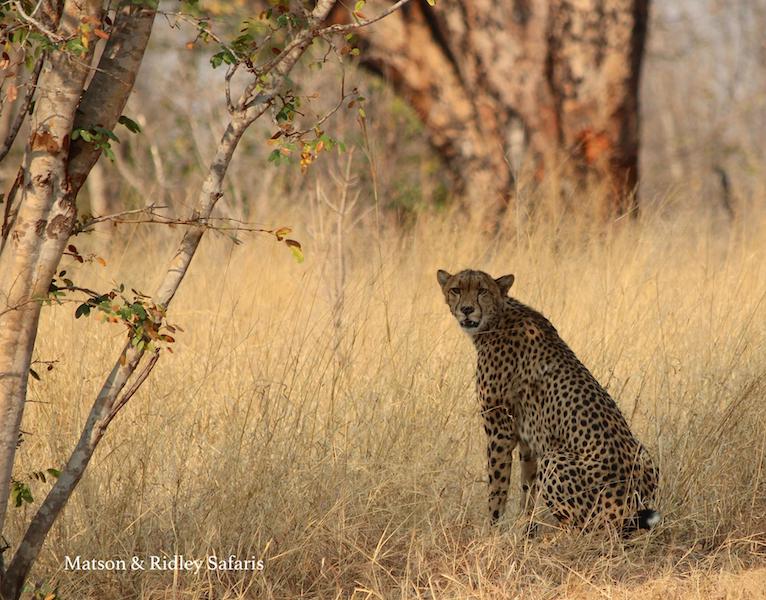 resized cheetah Hwange