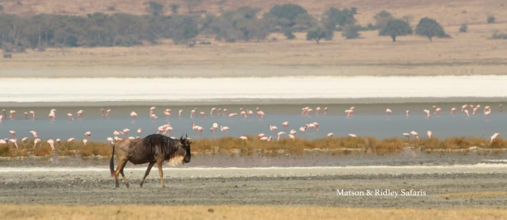 One of many many white-bearded wildebeest in the Ngorongoro Conservation Area walking past hundreds of flamingoes