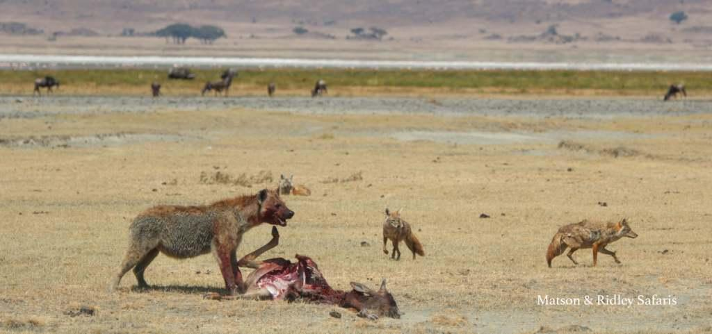 The wildebeest was almost totally devoured in 15 minutes as we watched, and 3 jackals tried to steal a morsel where they could