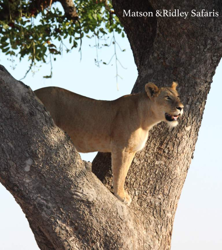 Lioness in tree - a behaviour only seen in this part of Africa