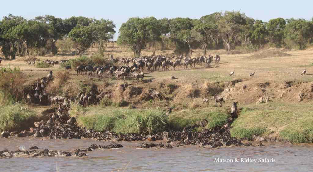 The famous crossing of the wildebeest at the Mara River